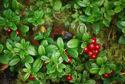 боровинка червена листа