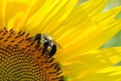 пчела, прашец