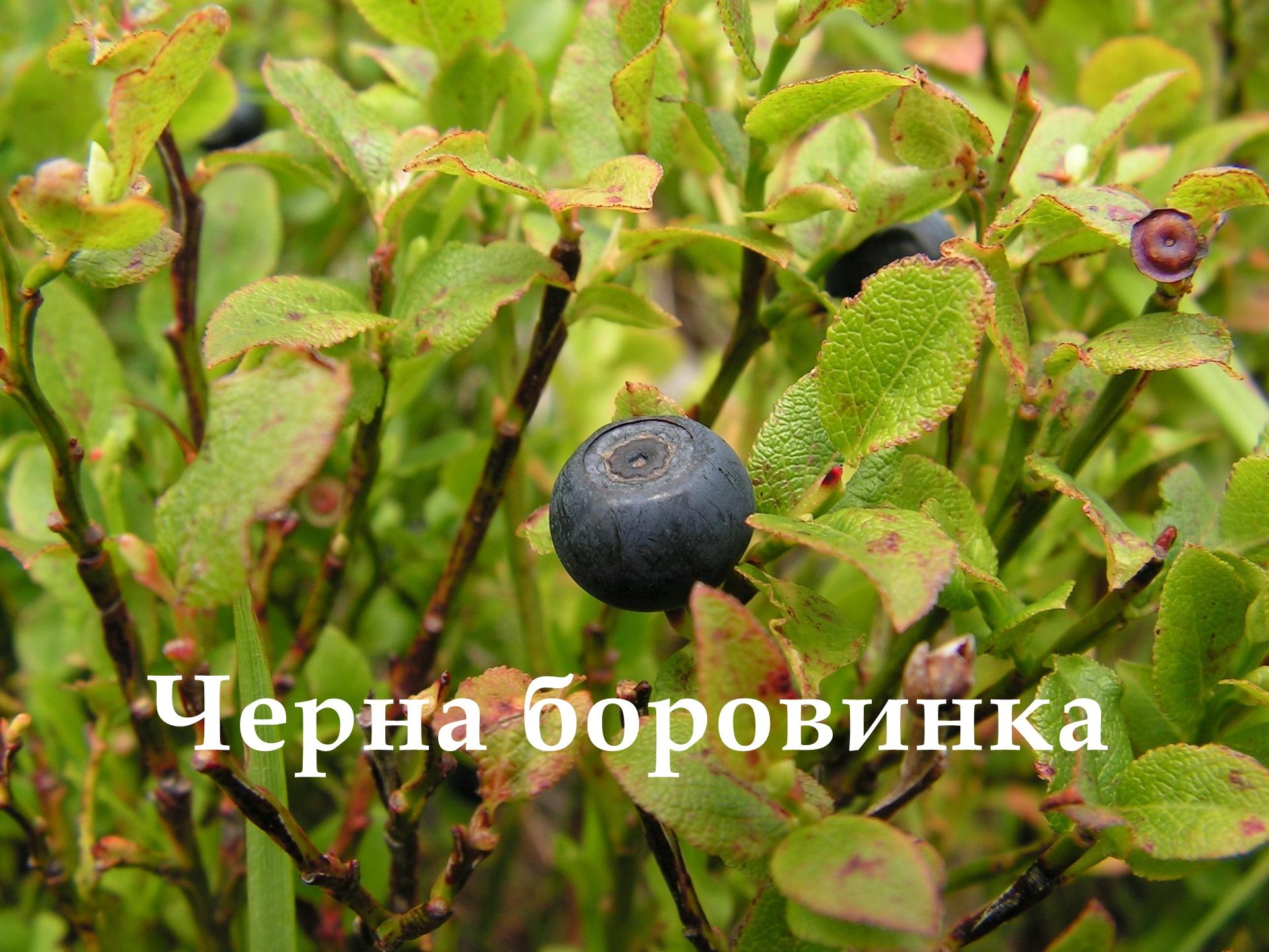 черна боровинка